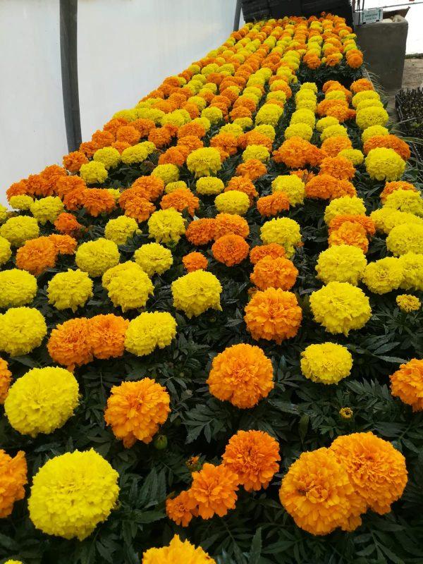 Tagete naranja y amarillo